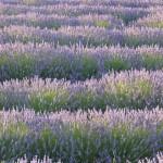 Lavendel-i-rader-150x150