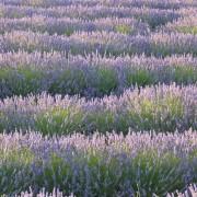 fält av lavendelblom