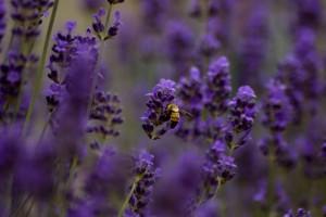 Lavendel och bi